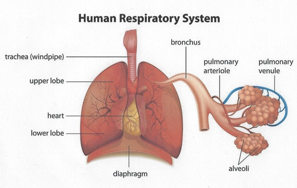 Anatomy of the normal respiratory system